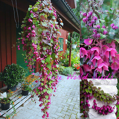 Rare and Beautiful! Purple Bell Vine 'Rhodos' Rhodochiton Atrosanguineus Seeds.