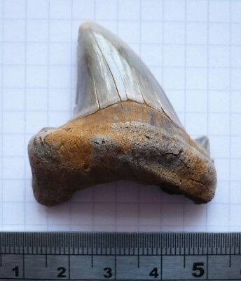 Fossil Shark Tooth, Otodus Obliquus Var, Eocene London Clay, Isle Of Sheppey, Uk