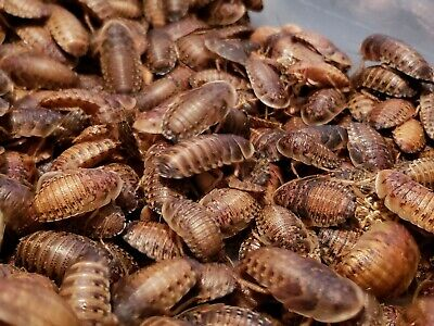Dubia Roaches 100 (Small, Medium,Large,X-Large)