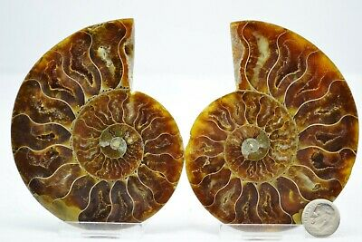 "Dinosaur PAIR Ammonite MultiColor Crystals LG 100mm 110myo FOSSIL 4.0"" e2765xx"