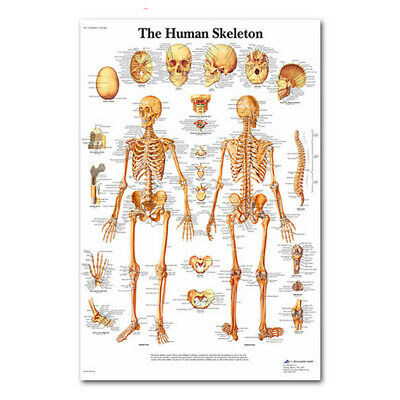 The Human Skeleton Poster Anatomical Paper Laminated Silk Cloth Skeletal System