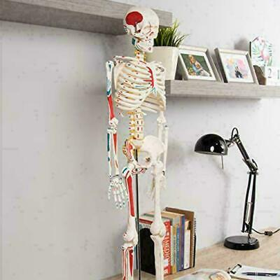 Human Skeleton  Anatomy Series 3D Model Chart Biology Science Education Mou Z1P8