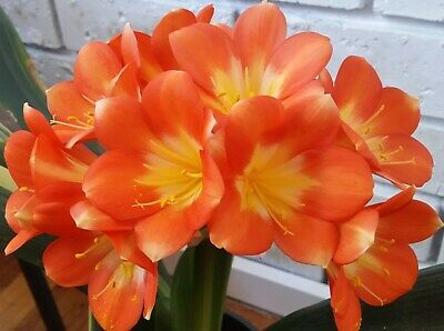 2 X NUSS MOSAIC GHOST X  SHIGES GHOST CLIVIA SEEDS
