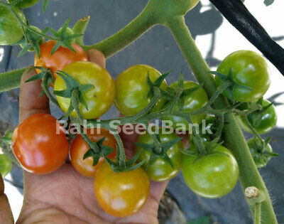 Tomato Cherry Snack Hybrid - An Exceptionally Sweet & Unique Tomato - 10 Seeds