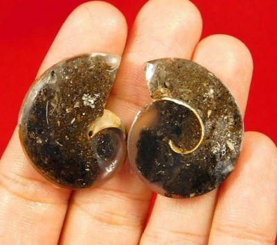 100% Natural Pair Fossil Snail Druzy Agate Loose Gemstone ct 52. 29x21mm NG7634
