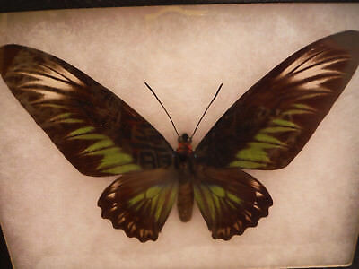 Birdwing REAL Butterfly (Trogonoptera Brookiana)  In 8 1/2 x 6 1/2 Display Case