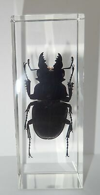 Ghost Stag Beetle Odontolabis siva Male in Clear Block Education Insect Specimen