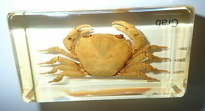 Chinese River Crab in 73x40x16 mm Amber Clear Block Name Embedded Learning Aid