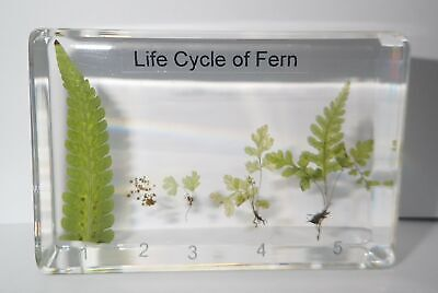 Life Cycle of Fern Set Golden Chicken Fern Real Plant Specimen Learning Aid