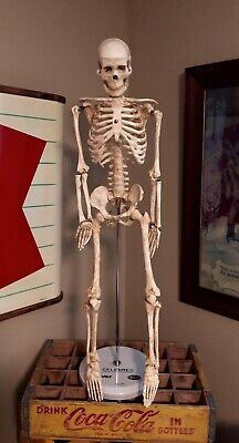 Vintage Anatomical Skeleton Display Model