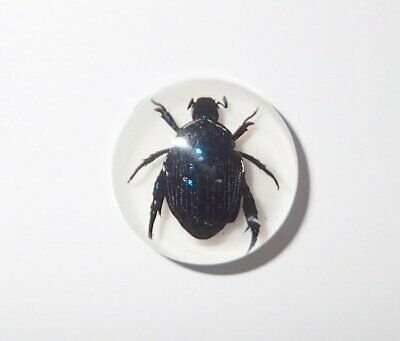Insect Cabochon Blue Cockchafer Beetle Round 19 mm on white 1 Piece Lot