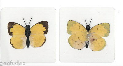 Laminated Common Grass Yellow Butterfly Eurema hecabe in 60x60 mm sheet