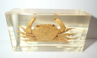 River Crab in 73x40x22 mm Amber Clear Block Education Marine Specimen