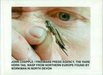 John Chapple The Rare Horn Tail Wasp. - Vintage photo