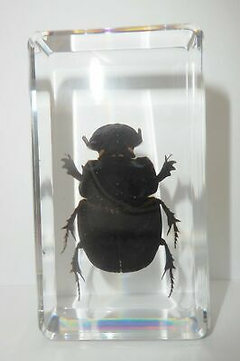 Dung Beetle Liatongus gagatinus in 73x40x15 mm clear block Education Specimen