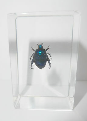 Blue Cockchafer Beetle Popillia mutans in Clear Block Education Insect Specimen