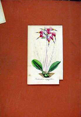 Original Old Antique Print Dodecatheon Flower Hand Colored Botanical C1831 Art