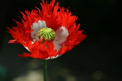 Papaver Poppy 'Danish Flag' Rare Poppy Annual Plant 50+ Seeds