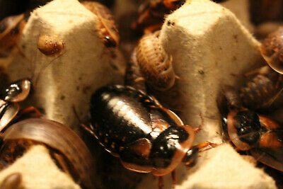 35 Live Dubia Roaches Feeder Insect, Bioactive (Blaptica Dubia), Starter Colony