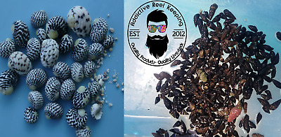 40 Mix N Match Caribbean Cerith & Nerite Snail Live Clean Up Crew Saltwater