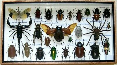 25 Real Bug Mounted Beetle Boxed Rare Insect Display Taxidermy Entomology
