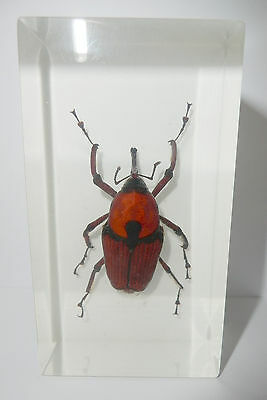 Insect Magnet Bamboo Weevil Snout Beetle Cyrtotrachelus longimanus Clear