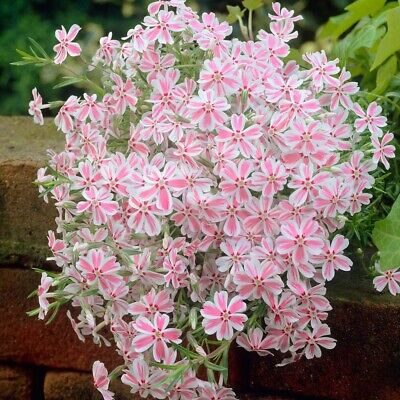 USA Candy Stripe Creeping Phlox 25 to 200 Seeds (Butterfly Garden)(Ground Cover)