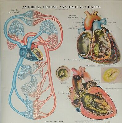 Vintage American Frohse Anatomical Wall Charts - CIRCULATION/HEART - Plate #4