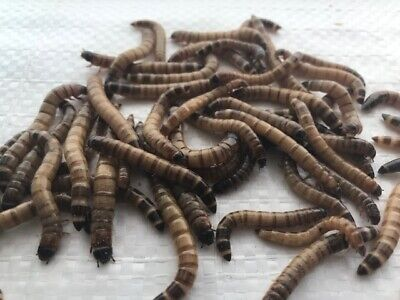 Live Superworms All Sizes -- 250-4000 Count --Free Shipping