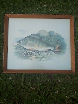 Collectable Framed Life like Pictures Of Fish For Pub Or Angler (PERCH)