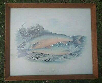 Collectable Framed Life like Pictures Of Fish For Pub Or Angler( Torgoch)