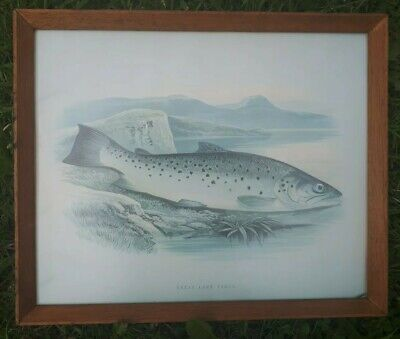 Collectable Framed Life like Pictures Of Fish For Pub Or Angler (TROUT)