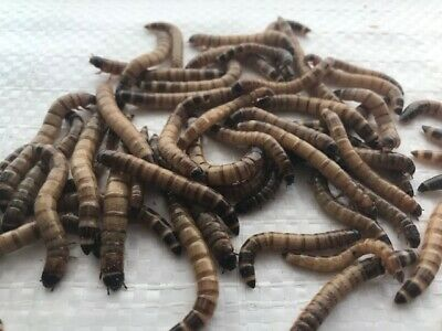 """500 Live Large (1.75""""-2"""") Superworms -- Free Shipping"""