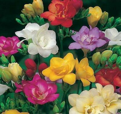 Pack x3 Double Flowering Lillium Lily /'/'Polar Star/'/' WPC Prins Bulbs//Tubers