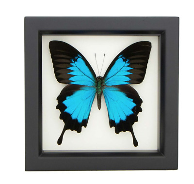 FRAMED PAPILIO ULYSSES SWALLOWTAIL BUTTERFLY - Blue