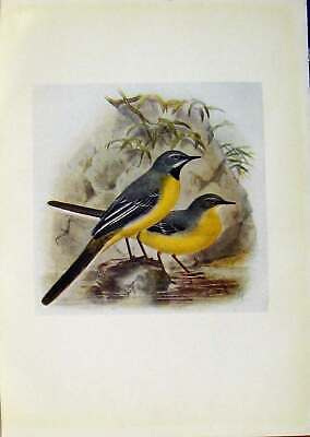 Original Old Antique Print Birds Britain By Dresser C1907 Grey Wagtail Color