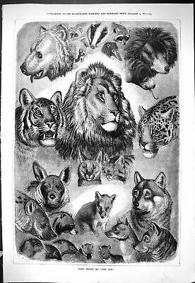 Old Antique Print Heads Zoo Animals 1877 Lions Tigers Bears Leopard Lemur 19th