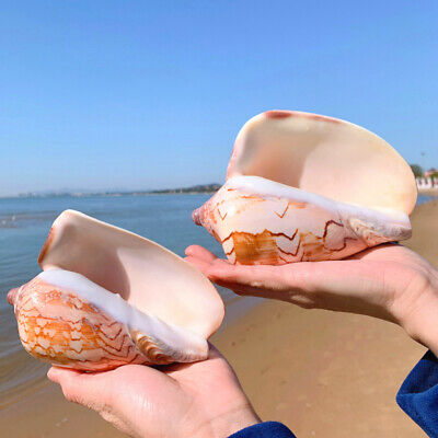 Large Scenic Shell Conch DIY Natural Coral Sea Snail Fish Tank Dec Home Ornament