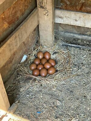 1 Dozen Farm Fresh FERTILE Black Copper Maran Chicken Eggs Free Range