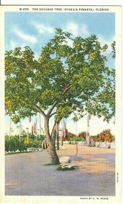 Vintage Linen Postcard The Sausage Tree Curt Teich Unposted
