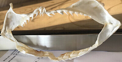 Sevengill  Shark Jaw  Heptranchias Perlo Teeth Tooth Taxidermy *International*