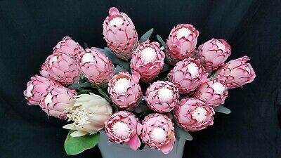 Grown In Hawaii  10-13 Inch Stems Protea Fresh And Real floral arrangements
