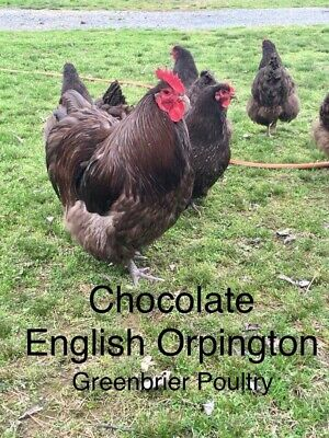 Chocolate English Orpington 12+ Fresh Chicken Hatching Eggs NPIP Arkansas