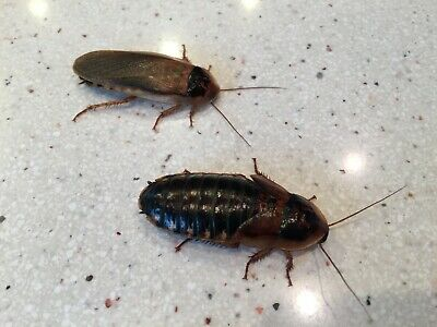 Live Dubia Roaches (Blaptica dubia) - Medium, Large, & Adults - Free Shipping!