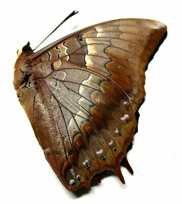 b003 Pa : Butterflies: Charaxes amycus ssp.? 47.5mm***************************