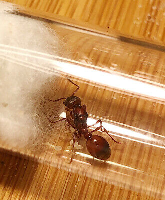 Queen Ant - Manica invidia - Semi-Claustral - Ant Colony - Live Feeder Insect