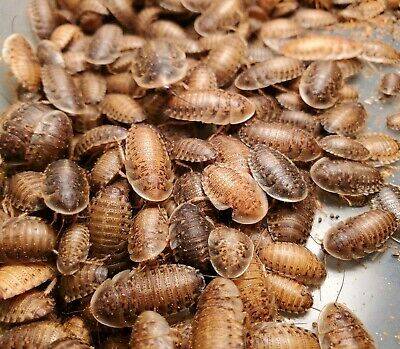 Dubia Roaches 50 X-Large Free Shipping  Feeders XLarge Large Small