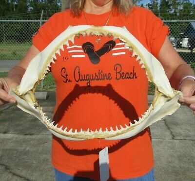 15 inch Blacktip Shark jaws Teeth mouth Taxidermy #40530