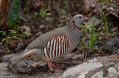 6x Barbary Partridge Hatching Eggs (laying Now) Pheasants,quail,chickens