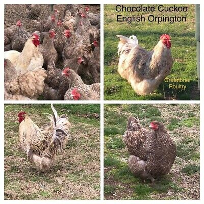 Chocolate Cuckoo English Orpington 12 Fresh Hatching Eggs NPIP